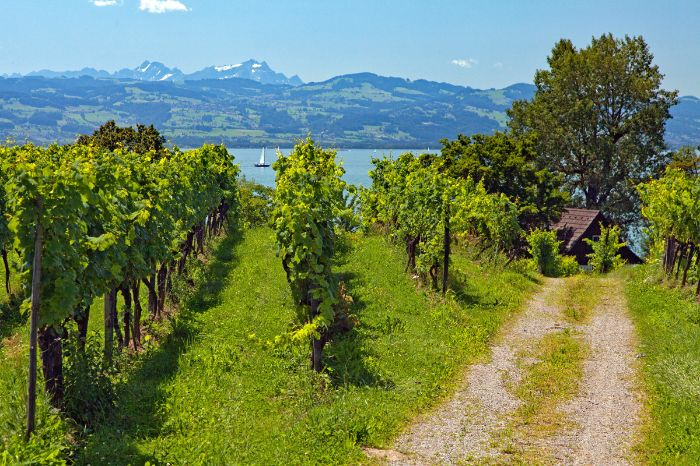 Vineyards near Lindau
