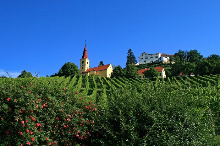 Vineyard in front of church tower