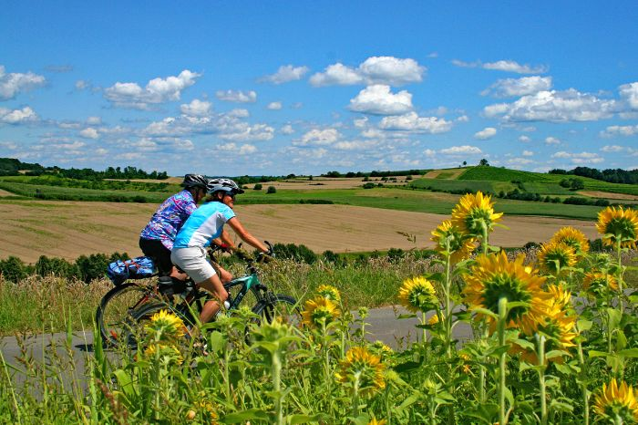 Cyclists passing sunflowers