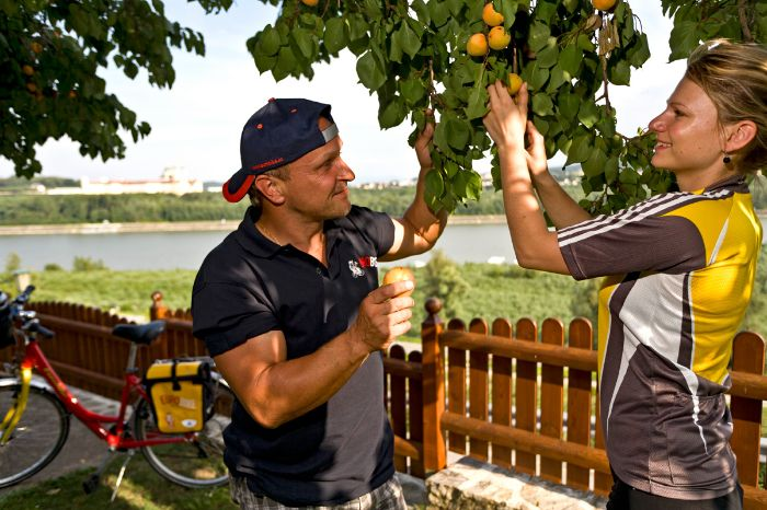 Two cyclists pick apricots
