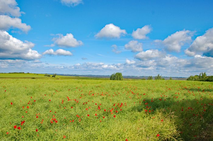 Poppy field at the Baltic Sea cycle path