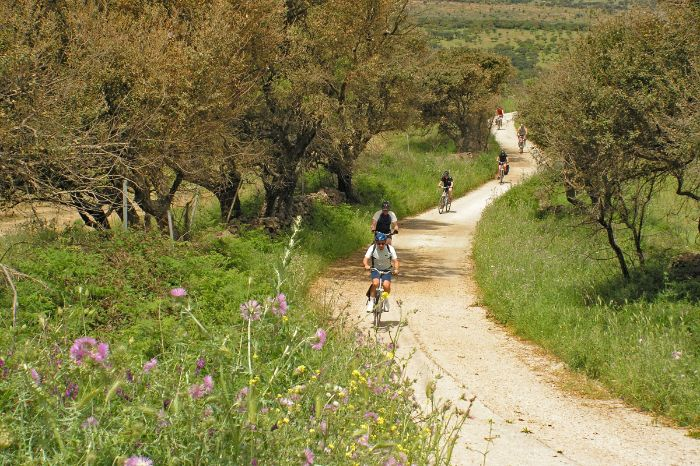 Cyclists between olive trees