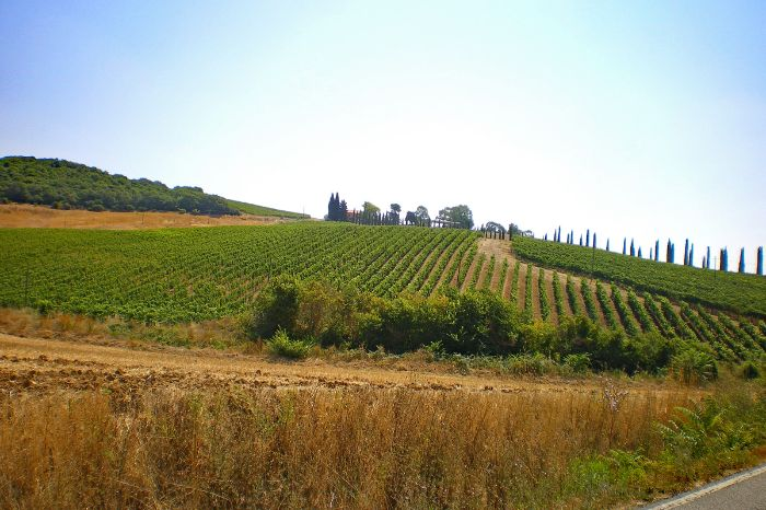 Vineyard near Scansano