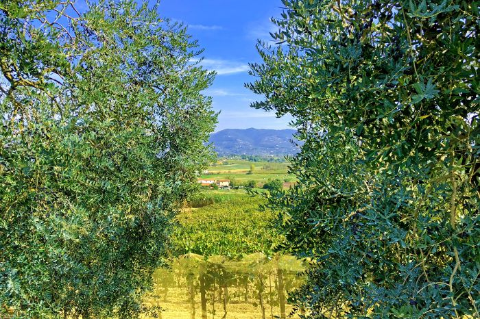 View over an olive grove near Vinci