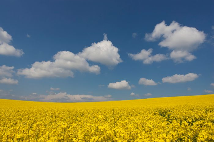 Canola field and the blue sky