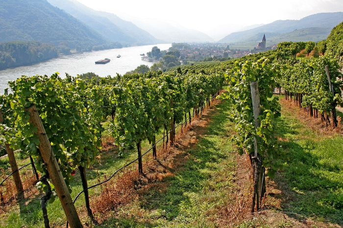 Vineyard with view on the river Danube