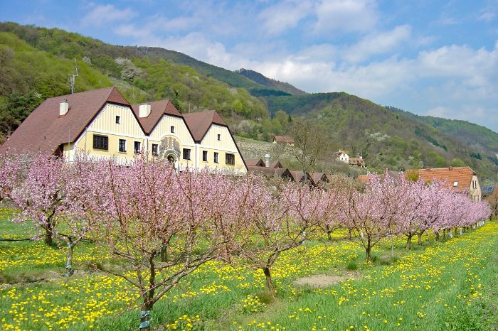 Apricot trees in flower in front of houses