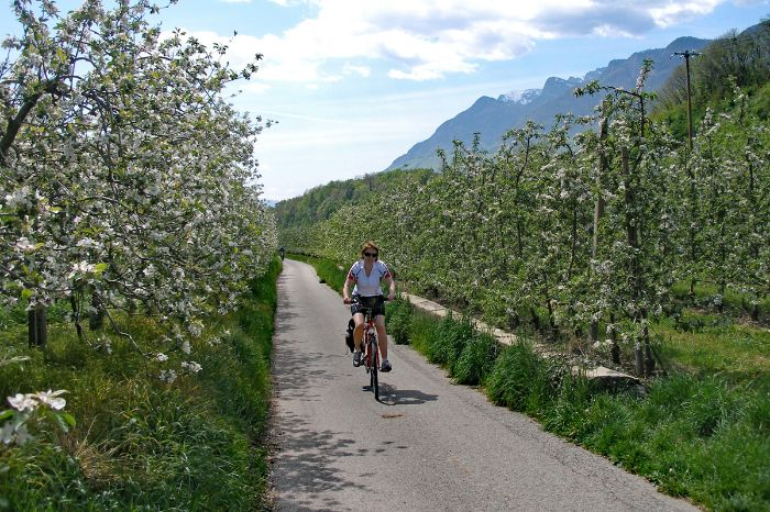 Cycle path lined with apple trees in flower