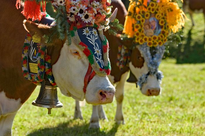 Adorned cows